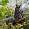 -long-eared-owl.jpg