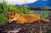 -fox-log.jpg