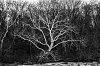 -white-tree.jpg