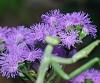 -purpleweed2-copy.jpg