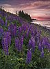 -lupines-fire-pentax-forums-contest-spring-colors-2.jpg