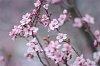 -imgp0033-pink-blossoms-ii-web.jpg