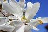 -magnolia.jpg