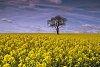 -oil-seed-rapel-.jpg