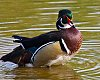 -shaking-wood-duck1.jpg