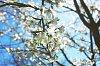 -blossom1.jpg