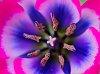 -macro-tulip-5.jpg