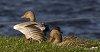 -duckwings.jpg