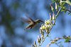 -hummingbird-feeding.jpg