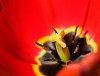 -red-tulip.jpg