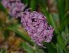 -hyacinth-ptnx100300.jpg