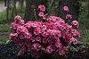 -azalea-bush.jpg