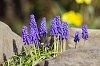 -grape-hyacinth.jpg