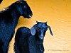 -goats.jpg