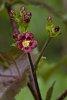 -jatropha-gossypifolia_1.jpg