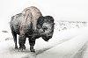 -bison-storm.jpg