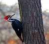 -pileated-woodpecker.jpg
