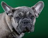 -young-french-bulldog-__-graham-reeve.jpg