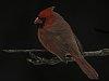 -male-cardinal.jpg
