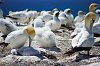 -gannets.jpg
