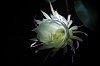 -midnight-cactus-bloom.jpg