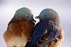 -2014-eastern-bluebird-male-female.jpg