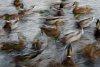 -ltf_2253-dizzy-ducks_.jpg