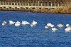 -trumpeter-swans.jpg