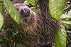 -2-toed-sloth.jpg