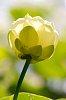 -american-lotus-2.jpg