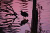-water-hen-sunset.jpg