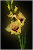 -gladiolus-3s-.jpg