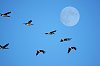 -geese-moon-2.jpg