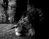 -lion_portrait.jpg