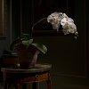-phalaenopsis.jpg