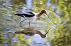 -bird-american-avocet-bs.jpg