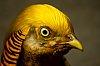 -golden-pheasant.jpg