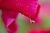 -canna-raindrops-2s.jpg