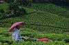 -tea-field-worker.jpg