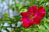 -rose03-900.jpg