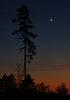 -pinetree-moon.jpg