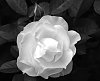 -black-white-rose.jpg
