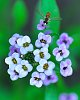 -imgp9251-bee-gathering-nector-alyssum-flower.jpg