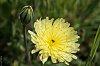 -_igp5143dandelion-flower.jpg