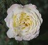 -white_rose_2000.jpg