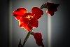 -back-lit-gladiola-1-1-.jpg