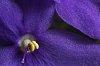 -violet3-1.jpg