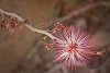 -fairyduster_calliandra-eriophylla.jpg