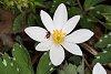 -coleomegilla-maculata-bloodroot-1200-1.jpg