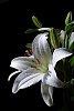 -white-lily.jpg